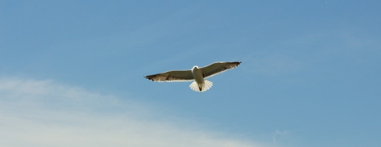 sky-bird-flying-seagull-large